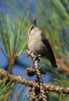 Brown Headed Nuthatch Videos