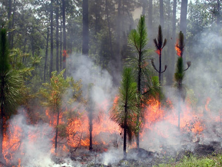 Fire in juvenile longleaf pine